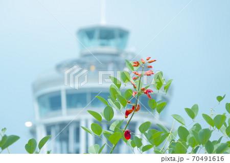 江の島シーキャンドルをバックに咲き始めたアメリカデイゴ 70491616