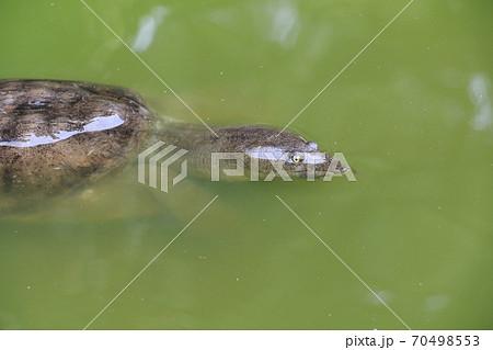ニホンスッポンの顔 水面から顔を出したニホンスッポン 70498553