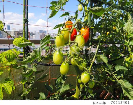 家庭菜園 都会のルーフバルコニーでミニトマト栽培 70512401