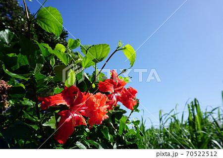 沖縄の定番、ハイビスカス 赤色と抜けるような青空 70522512