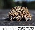クヌギ、どんぐりの帽子(殻斗) 70527372
