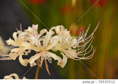 夕焼けを浴びて一際綺麗な白い曼珠沙華 70535512