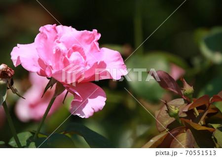 ピンクのバラ 品種:ザ・マッカートニー・ローズ 70551513