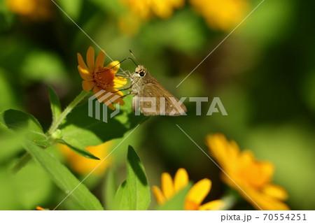 花と蝶:チャバネセセリ:山田池公園:花畑 70554251