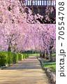 常陸風土記の丘の枝垂れ桜 70554708