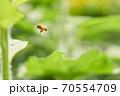 飛翔中のセイヨウミツバチ 70554709