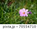 開花したばかりのピンク色の一輪のコスモスの花 70554710