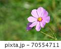 開花したばかりのピンク色の一輪のコスモスの花 70554711