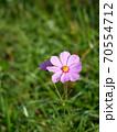 開花したばかりのピンク色の一輪のコスモスの花 70554712