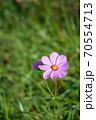 開花したばかりのピンク色の一輪のコスモスの花 70554713