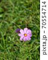 開花したばかりのピンク色の一輪のコスモスの花 70554714