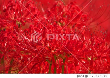 日ざしを浴びて紅一色に染まるヒガンバナ畑 秋のイメージ 70578040
