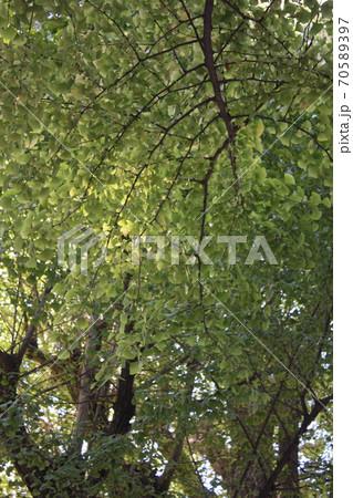 ほんのり色づき始めたイチョウの葉 70589397