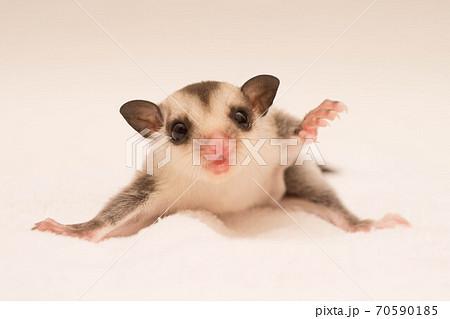 威嚇をするフクロモモンガの赤ちゃん 70590185
