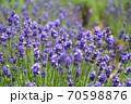 ラベンダーの花 70598876