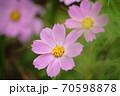 薄紫のコスモスの花 70598878