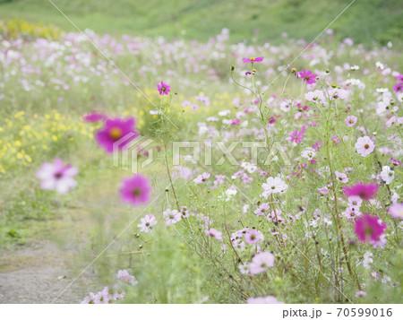 久里浜花の国のコスモス 70599016