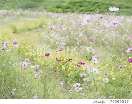 久里浜花の国のコスモス 70599017