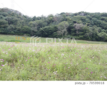 久里浜花の国のコスモス 70599018