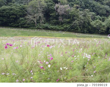 久里浜花の国のコスモス 70599019