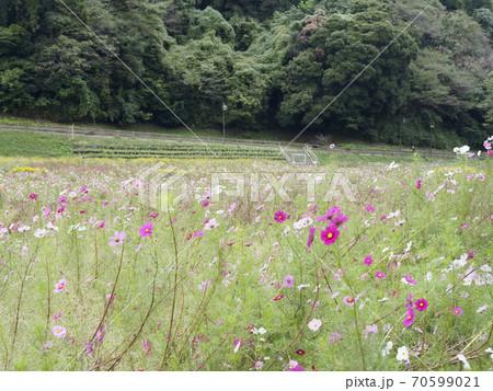 久里浜花の国のコスモス 70599021