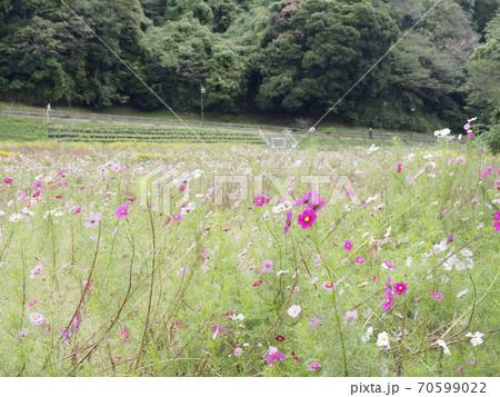 久里浜花の国のコスモス 70599022
