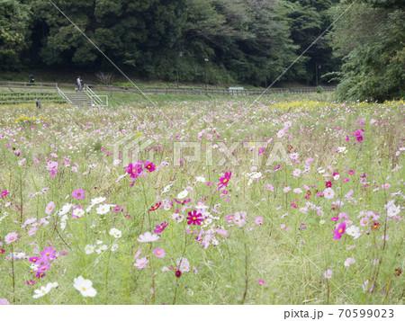 久里浜花の国のコスモス 70599023