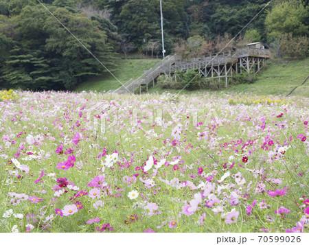 久里浜花の国のコスモス 70599026