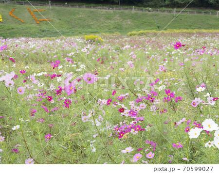 久里浜花の国のコスモス 70599027