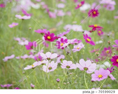 久里浜花の国のコスモス 70599029