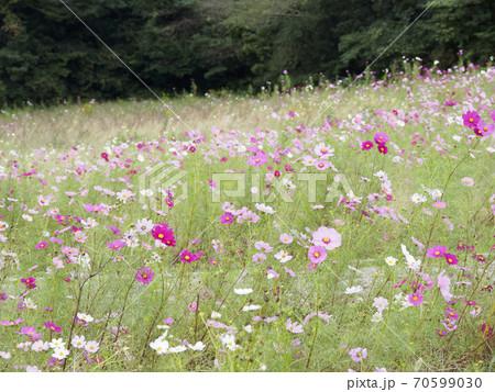 久里浜花の国のコスモス 70599030