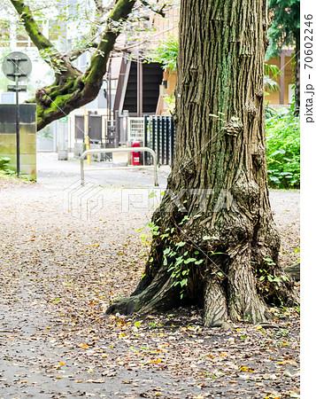 大きなクヌギの木のゴツゴツした木肌 70602246