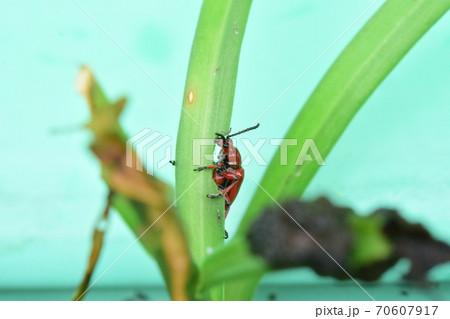 ユリの葉を食べるユリクビナガハムシ 70607917
