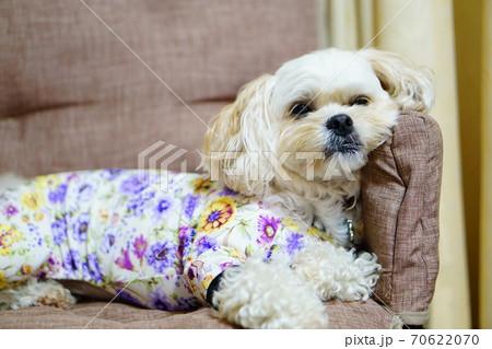 ひじ掛けにもたれかかって寝ている犬 70622070