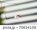 花が4月上旬頃と10月頃の年2回開花する十月桜、都心のビルをバックに咲くピンクの可愛い花 70634109