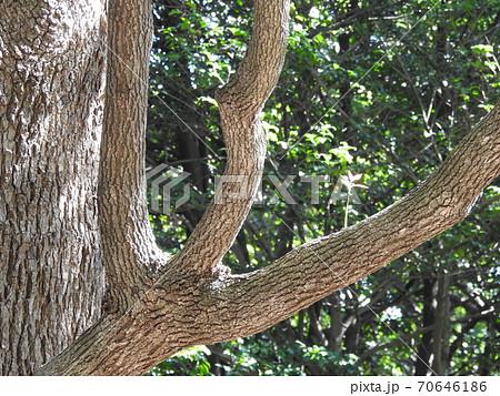大樹に新芽。。かわいい新芽。。頑張れ!!(笑い) 70646186