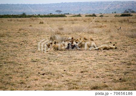6月のケニアアンボセリ国立公園 食後のライオン 70656186