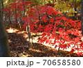 紅葉した長い枝のモミジ 70658580