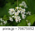 蕎麦の花(寄り) 70675052