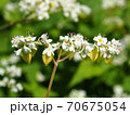 蕎麦の花と若い実(寄り) 70675054