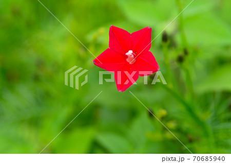 ハゴロモルコウソウの花 70685940