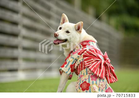 芝生の上でポーズする着物を着た柴犬 70715833