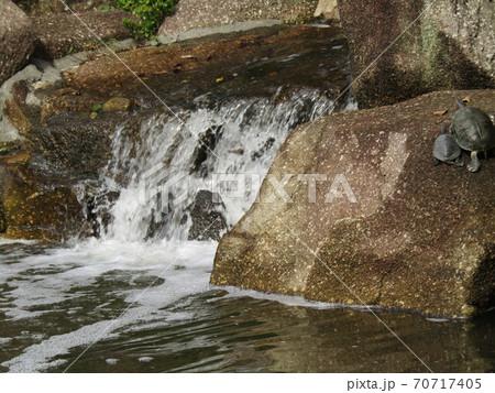 稲毛海浜公園の池に亀さん 70717405