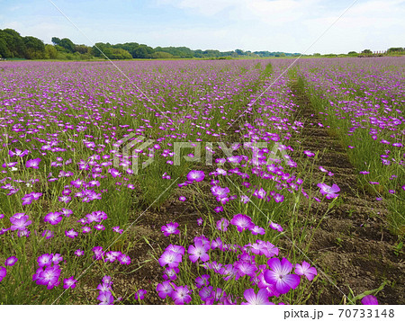 一面に広がる、紫が美しいムギナデシコの花畑(埼玉県鴻巣市) 075 70733148