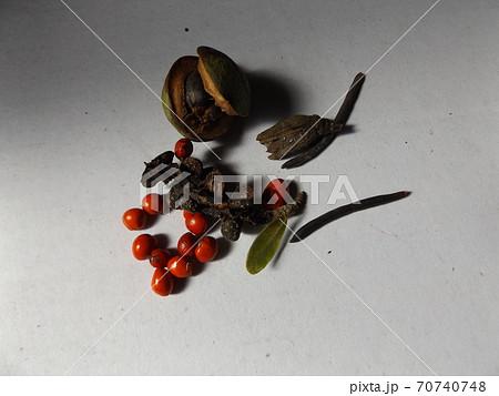 昭和の森で採取したシデコブシの赤い種 70740748