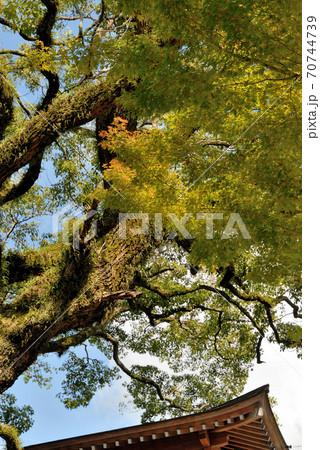 神社の境内に育っている色づいた大きな木に、秋の日が当たり味わい深い様子になっている風景 70744739