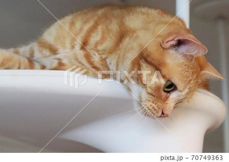 寝転んだままキャットタワーから下をのぞき込む猫のアメリカンショートヘアレッドタビー 70749363