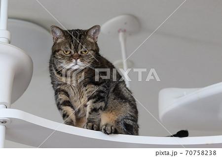 キャットタワーで困り顔の猫のアメリカンショートヘアブラウンタビー 70758238