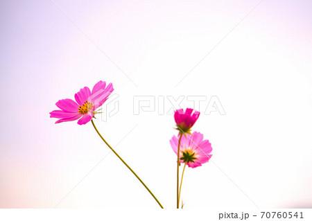 白い背景とピンク色のコスモス 岡山県岡山市東区 70760541