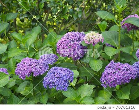 ナチュラルガーデンに咲く紫色のアジサイの花 70761316